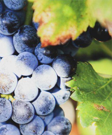 Les raisins de l'explotation du Domaine la Boutinière