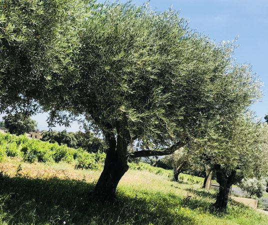 olivier du domaine 2
